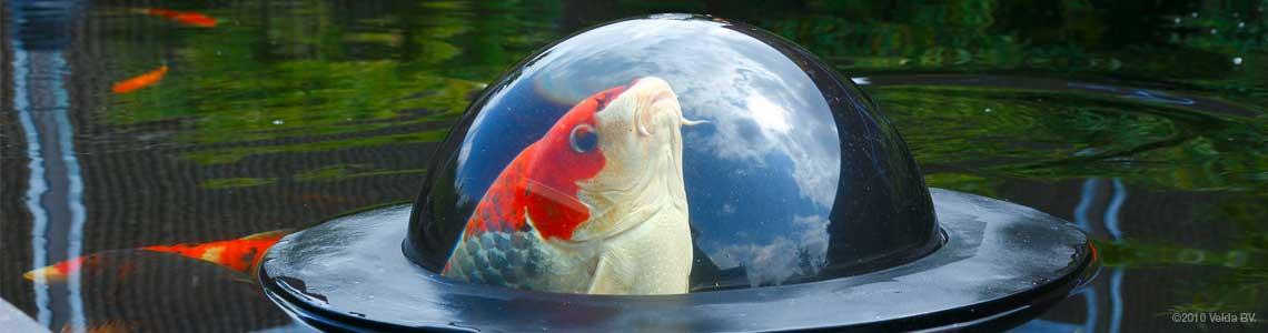 ein koi schaut durch den fish globe