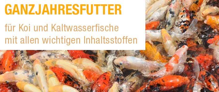 koi fische bei der Fütterung