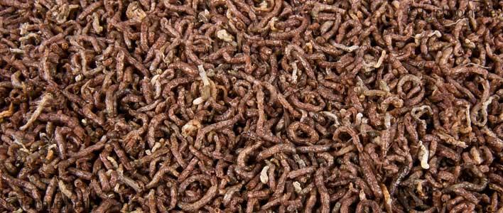 rote mückenlarven chironomidae