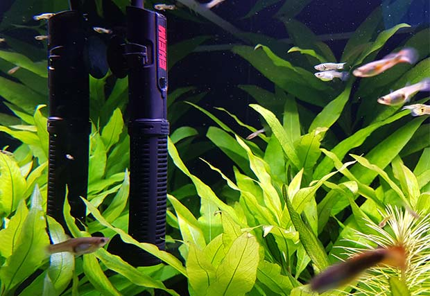 Der Aquarium Heizstab in einem Süßwasser Becken mit Pflanzen und Guppy-Fischen