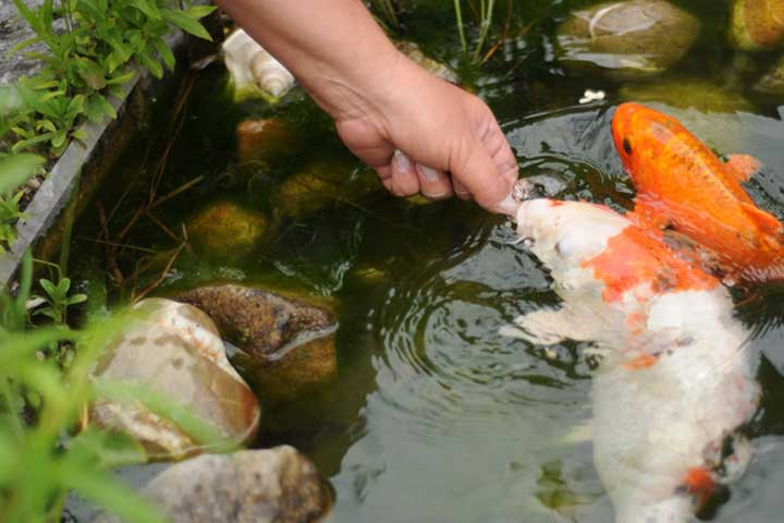Teichpoint silkworm bits spezial koifutter mit seidenraupen for Was fressen fische im teich