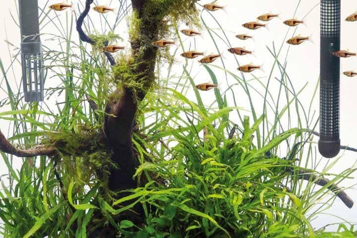 rote keilfleckbärblinge (Trigonostigma espei) im nano aquarium