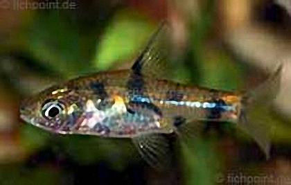 Fleckenbarbe - Puntius gelius