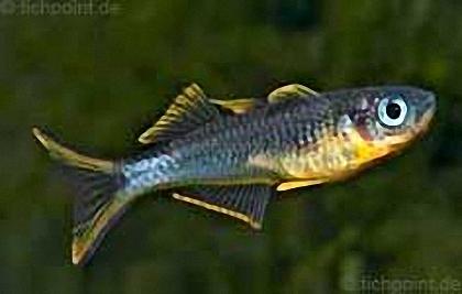 Gabelschwanz-Regenbogenfisch - Pseudomugil furcatus