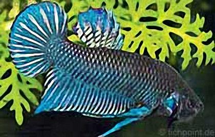 Siamesische Kampffisch lat. Betta splendens