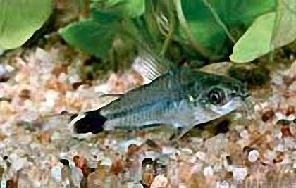 Sichelfleck-Panzerwels - Corydoras hastatus