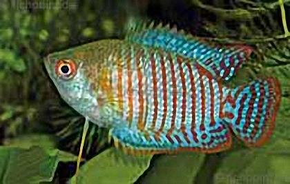 Zwergfadenfisch - Colisa lalia