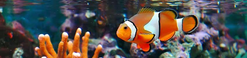 ein Anemonenfisch im Korallenriff