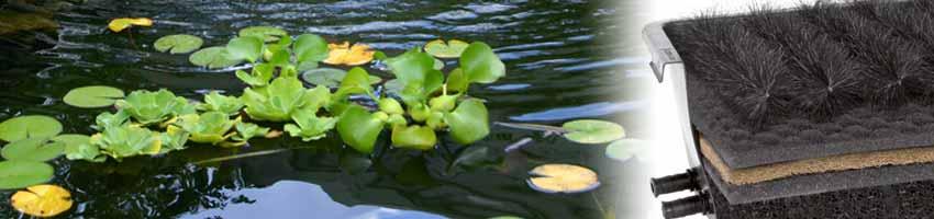 grüne Wasserpflanzen in einem sauberen Gartenteich, am Rand steht ein Durchlauffilter