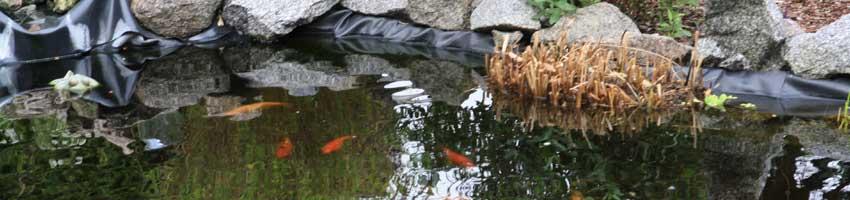 ein schöner Teich mit Goldfischen