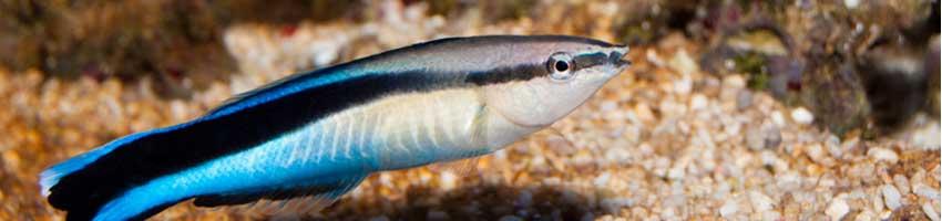 blauer Putzerfisch