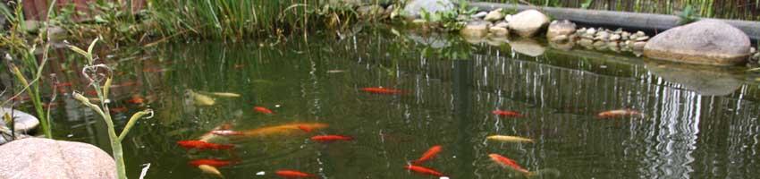 klarer Teich mit koi fischen